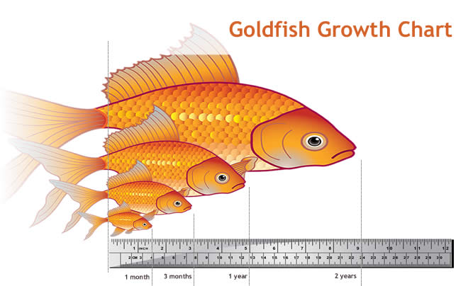 Fishkeeping - Goldfish Size, Life Expectancy and Tank ...