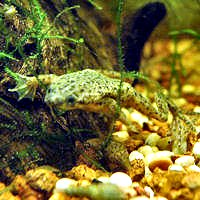 Caresheets African Dwarf Frog Congo Frog Adfabrev