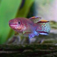 Fishkeeping - Caresheets - Steel Blue Killifish (Blue Lyretail ...