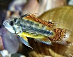 Cichlid Caresheets