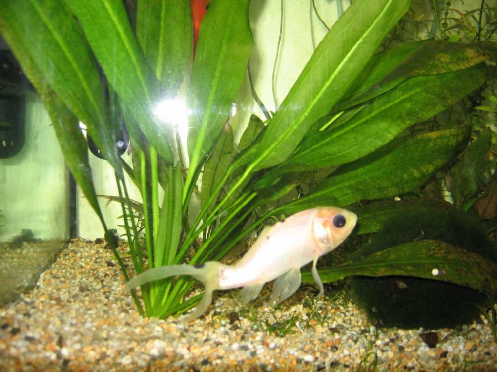 goldfish tank size. Fishkeeping - A tale of four goldfish - how tank size and living conditions