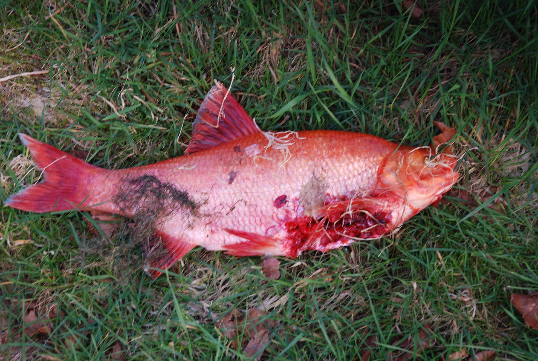 Fishkeeping - Damaged Goden Orfe [Forums - General Information]