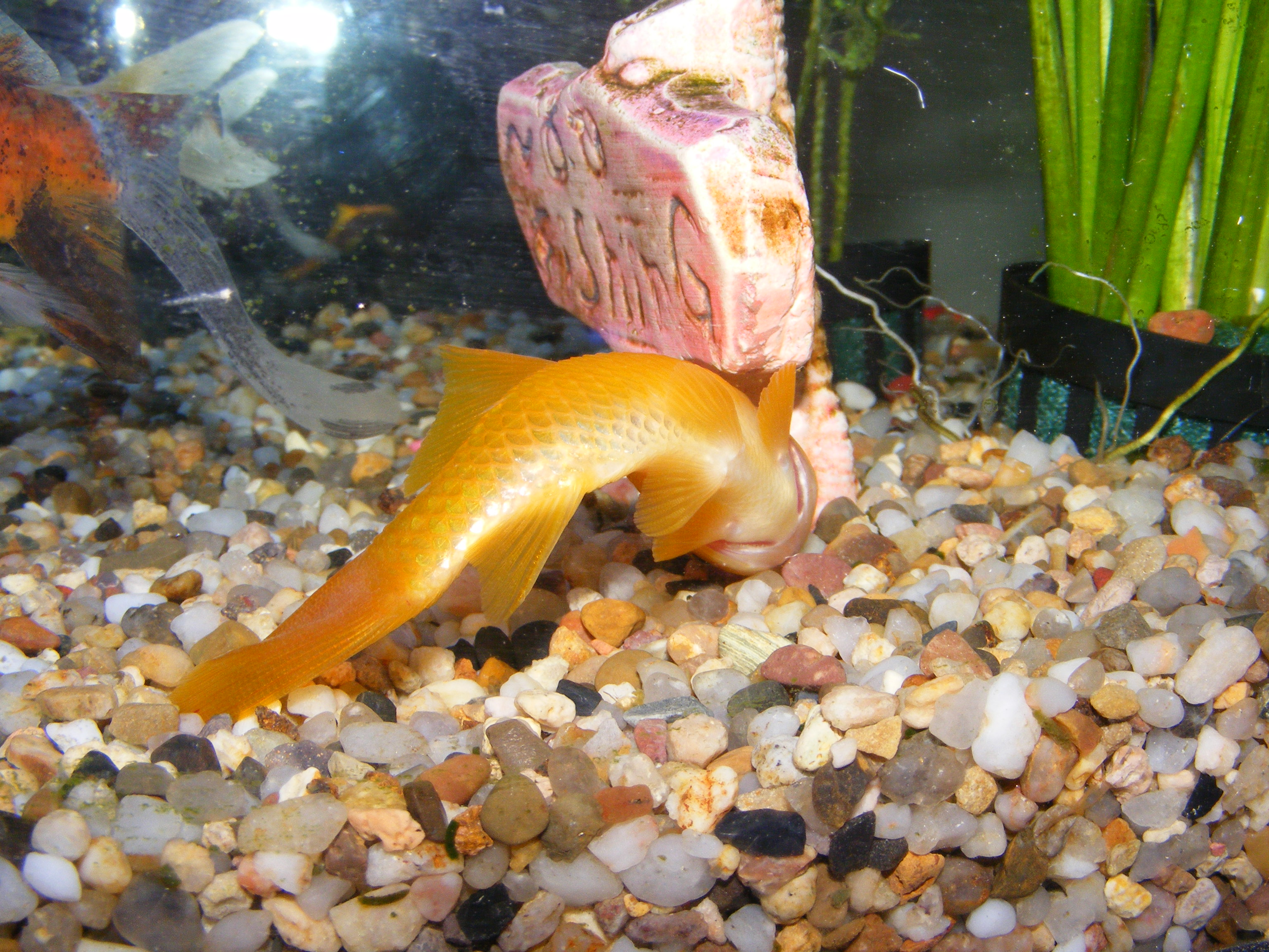 Goldfish curled over – nitrate poisoning or bacterial infection