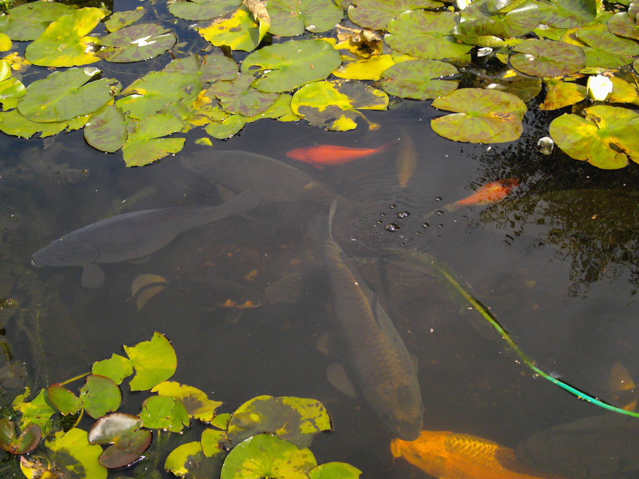 Re pond fish identification pond help and advice for Pond fish identification