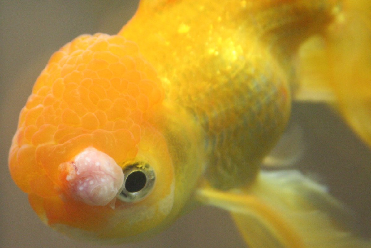 Re goldfish tumor please help coldwater help and for Fish diseases pictures