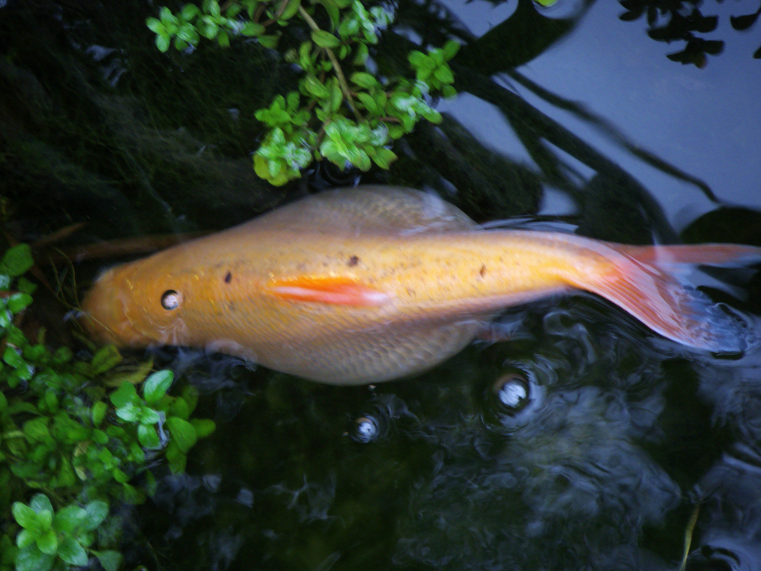 fishkeeping bloated golden orfe forums pond help and advice
