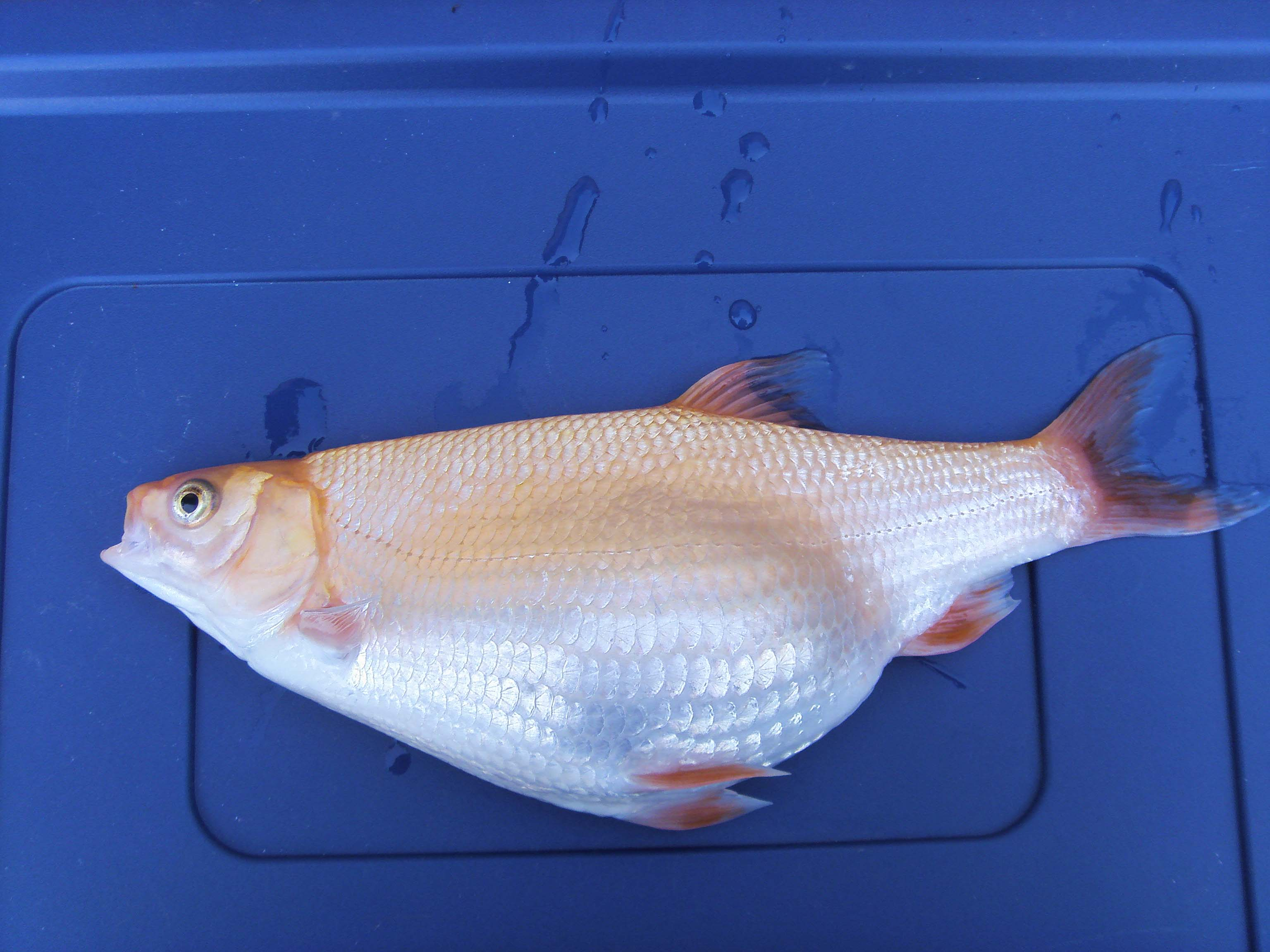 Fishkeeping - Bloated Golden Orfe [Forums - Pond - Help and Advice]