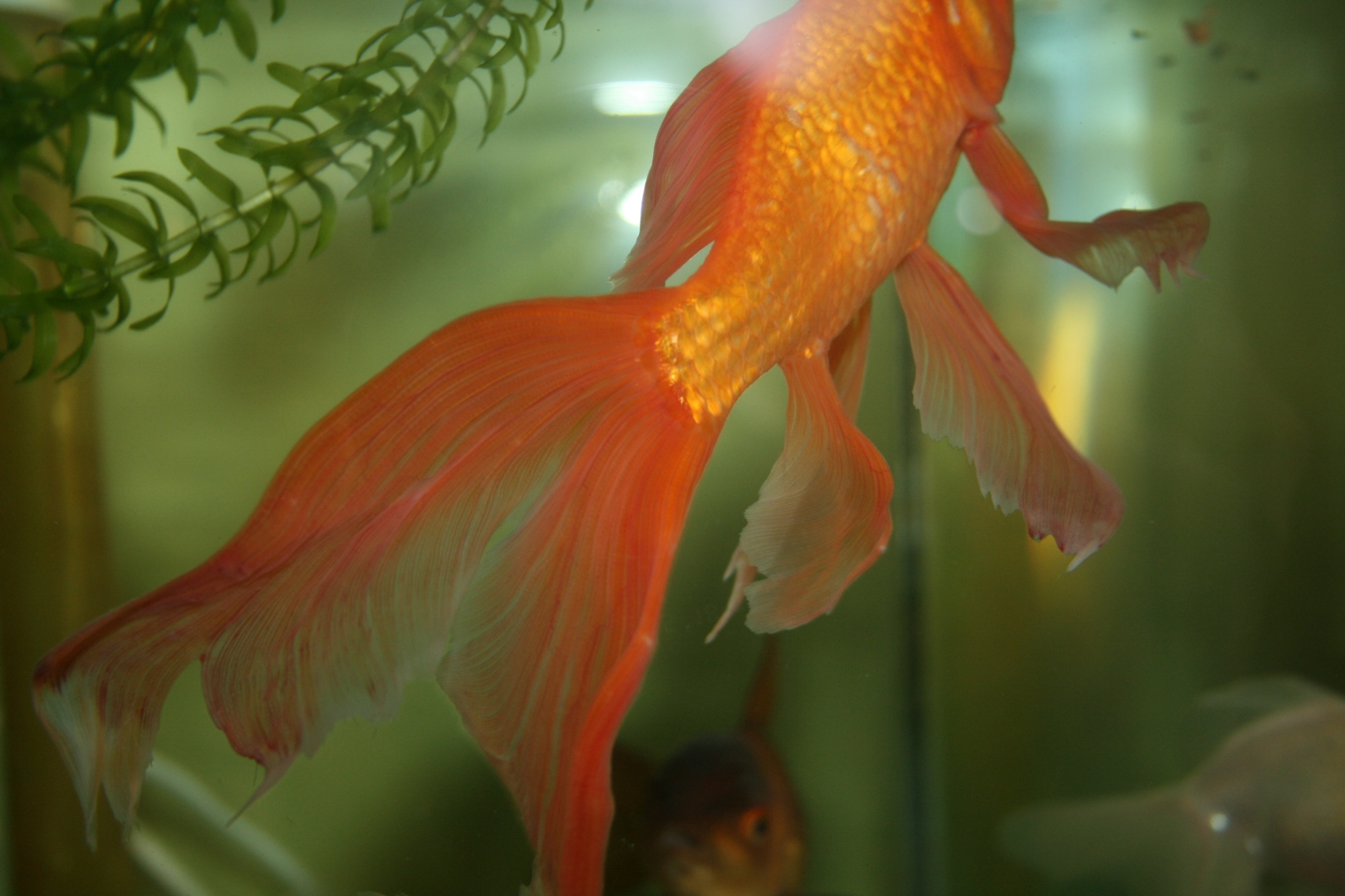 Goldfish fins turning red coldwater help and advice for Fish and tails