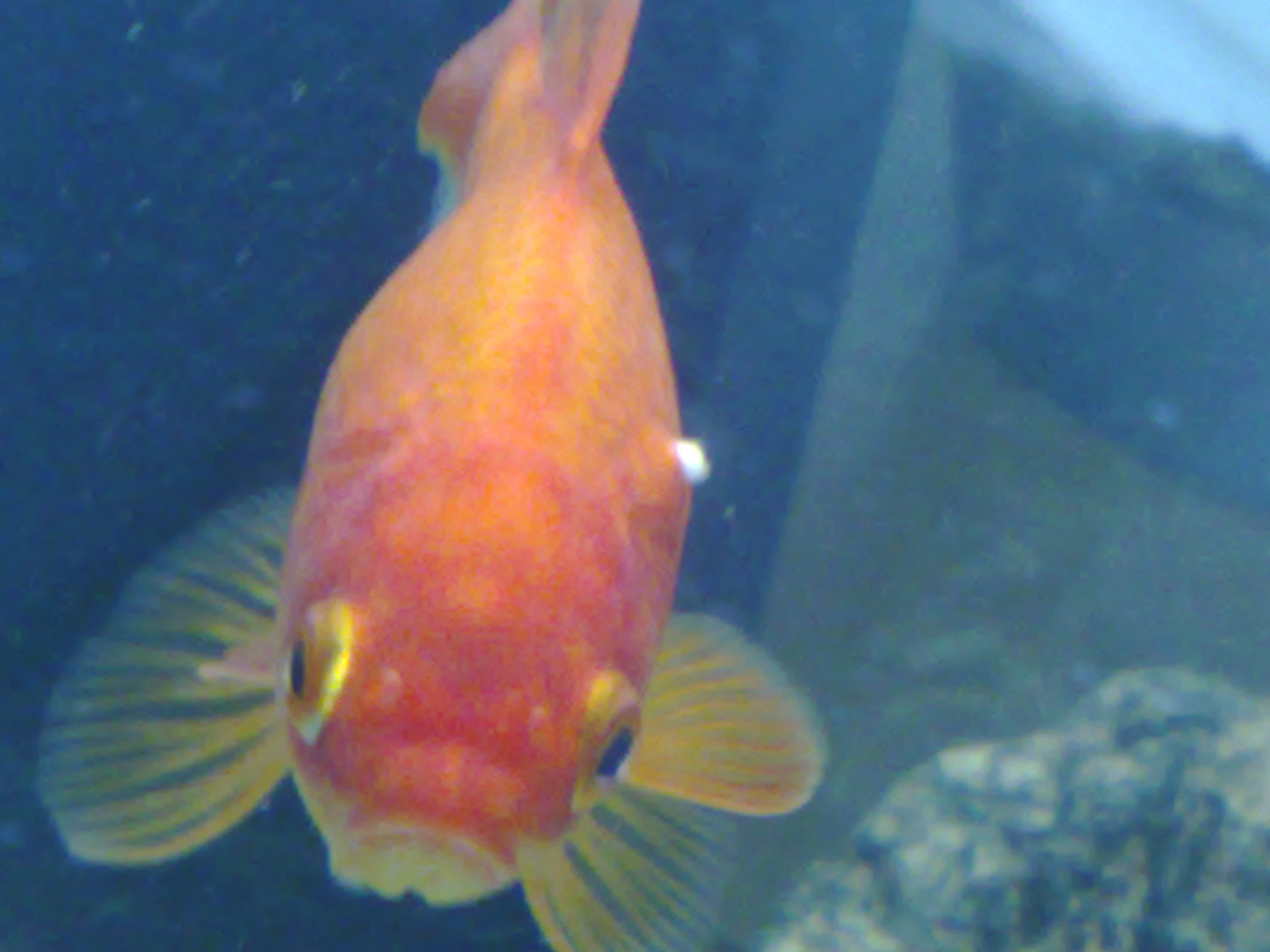 Goldfish not well at all coldwater help and advice for White fungus on fish