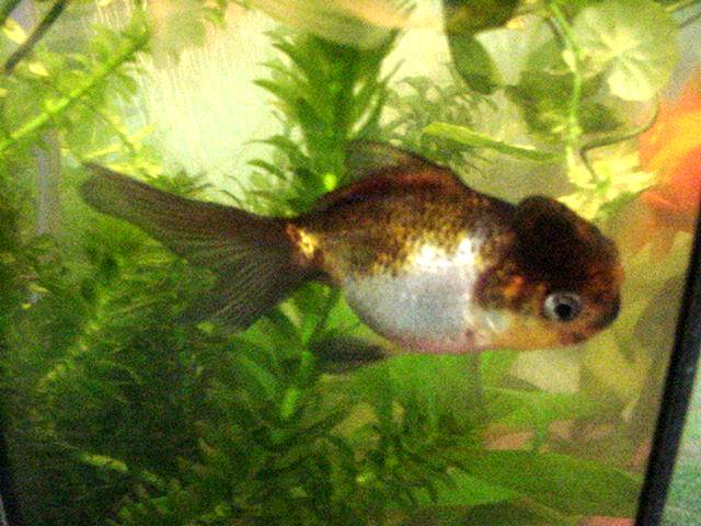 Linsay's Chocolate & Silver Oranda - James