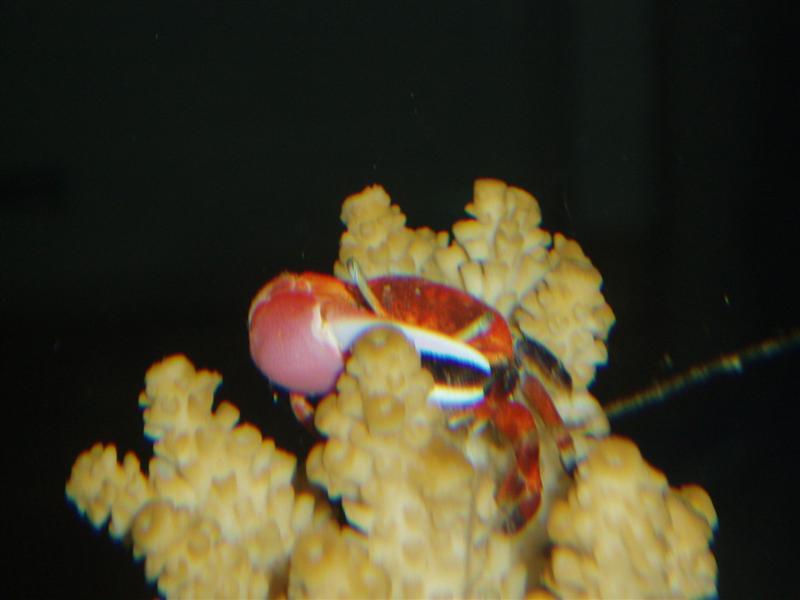 my little crab