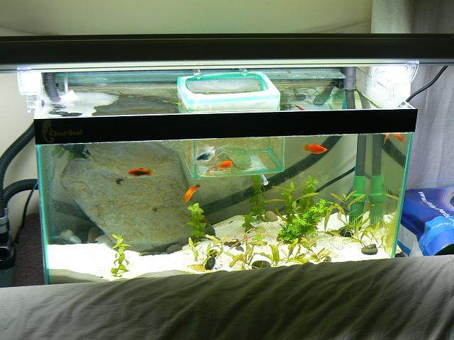 MY bedroom platy tank