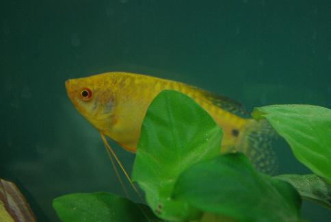 Golden Gourami 3