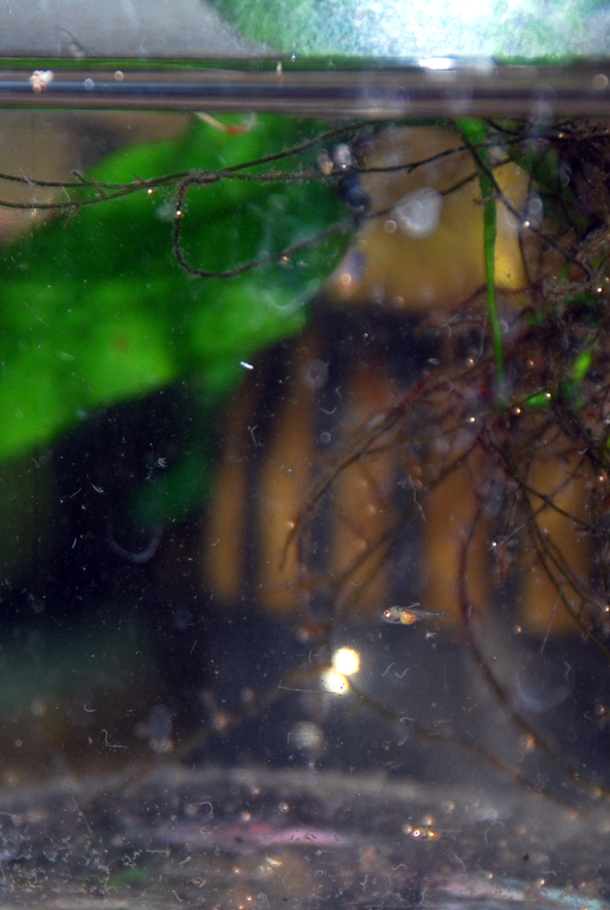 Mini Microgeophagus Ramirezi Micro Tank
