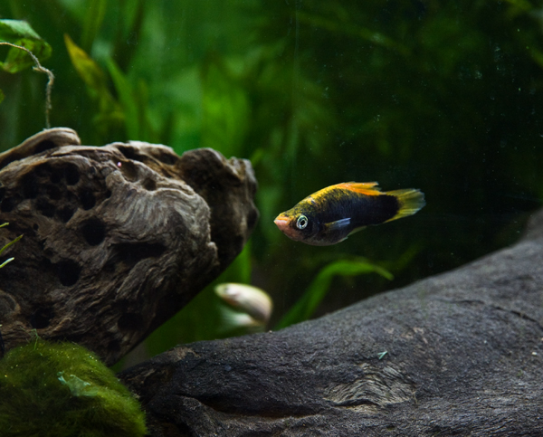 Female Swordtail