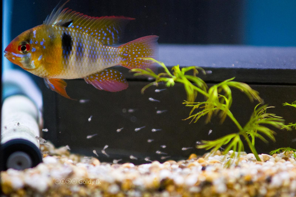Mikrogeophagus Ramirez, male and free swimming fry