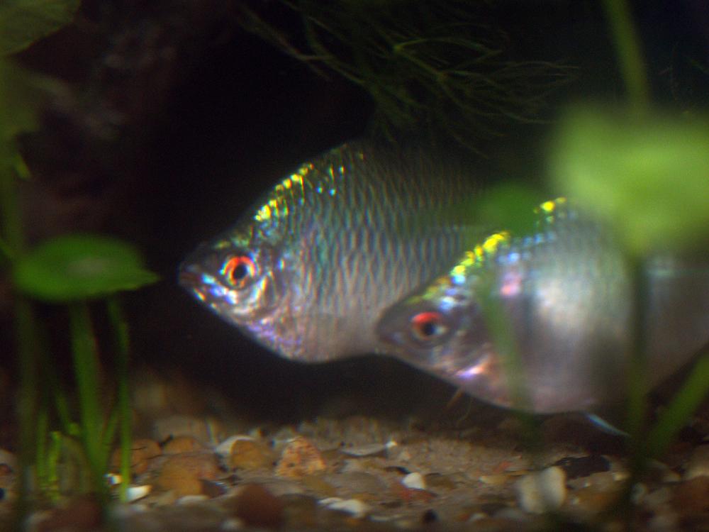 Two Male Bitterlings