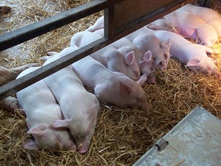 A platter of Piggies
