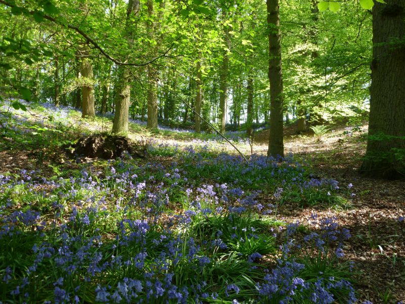 Bluebells in a wood, nr Polstead, Suffolk
