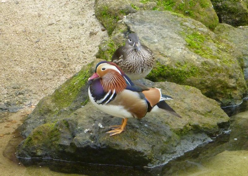 Mandarin duck and mate, Chessington WOA
