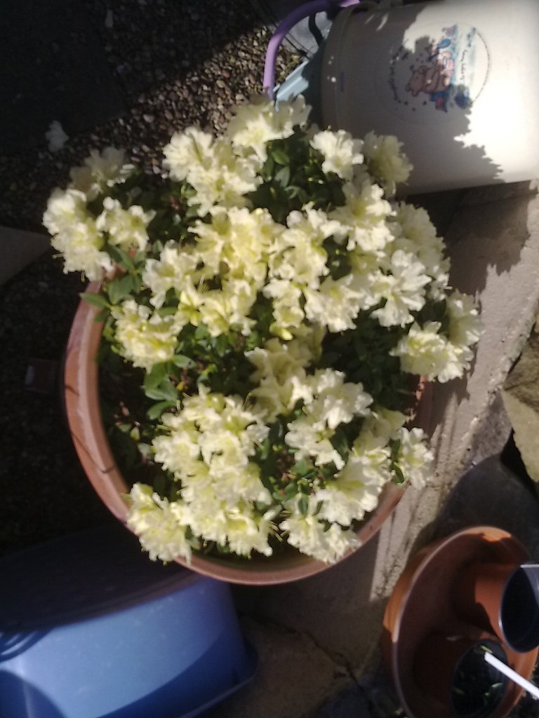 spring Rhodedendron