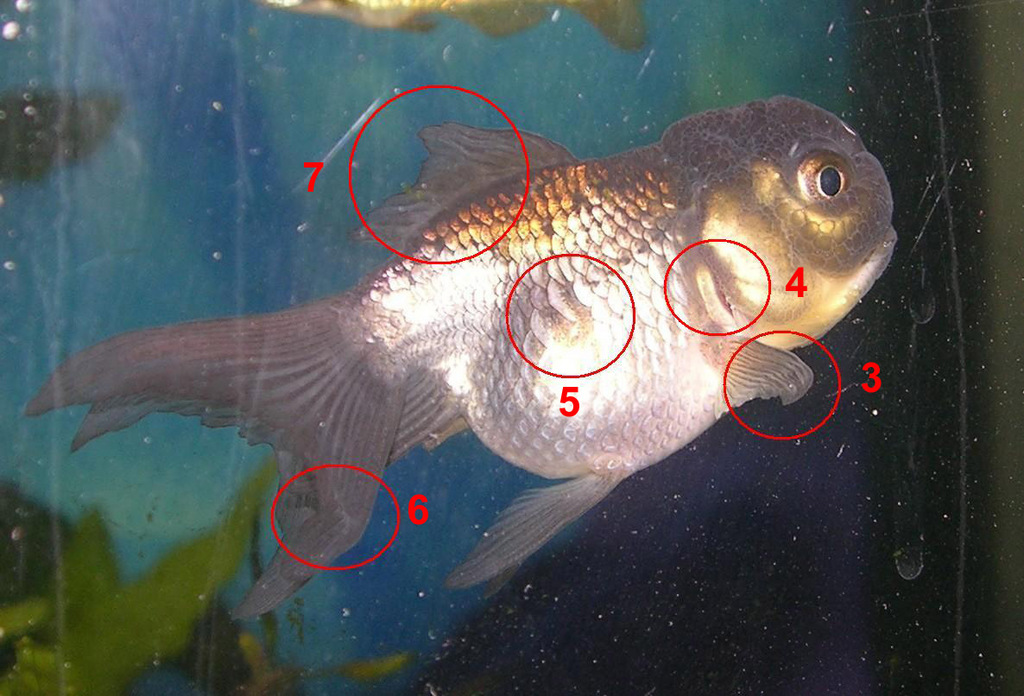 Re: Blue the Oranda - Goldfish Deformities [Coldwater - Help and