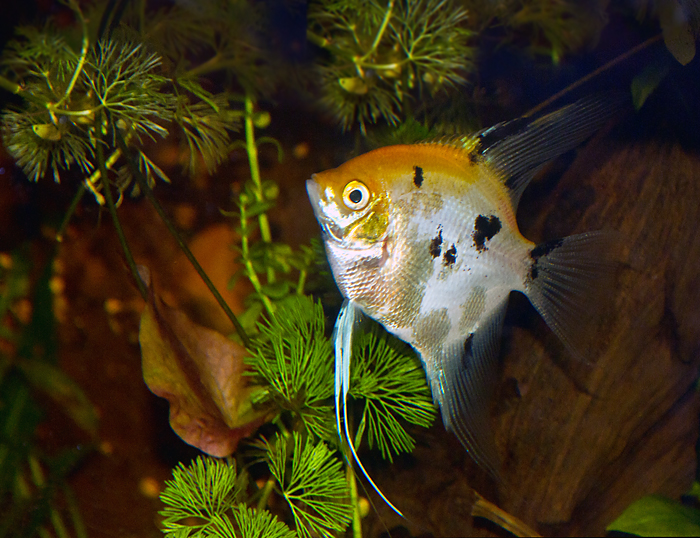 Buffy - Female Angelfish (Pterophyllum scalare)
