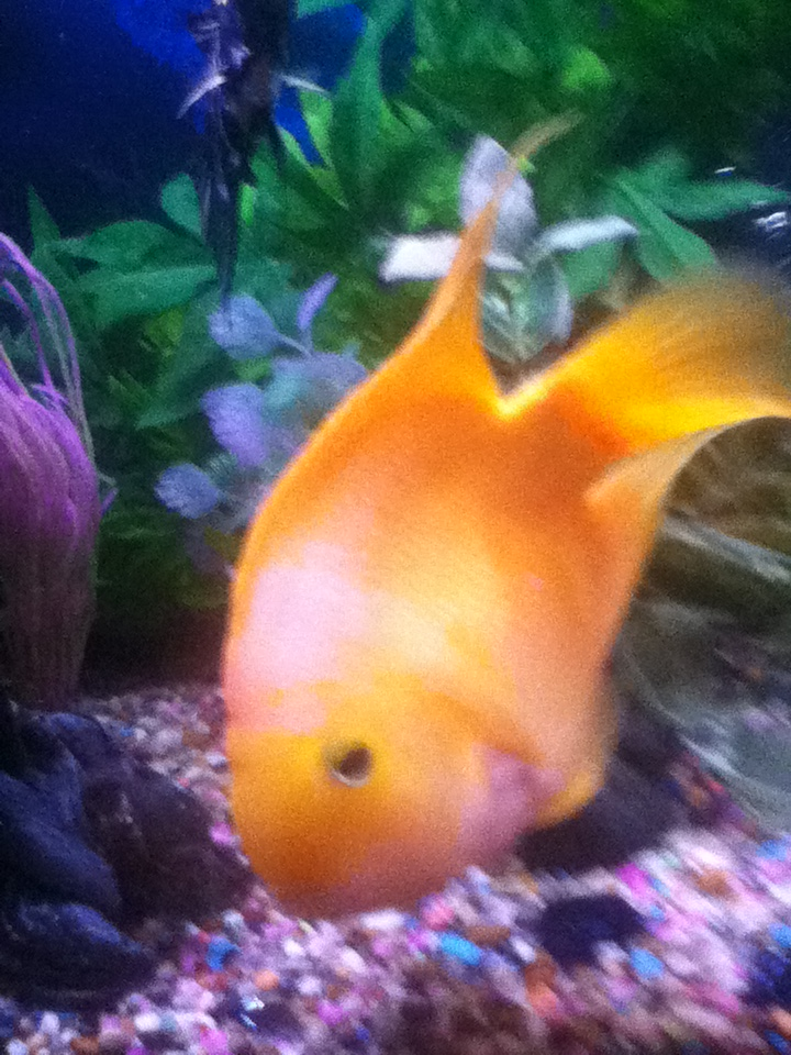 perry the parrot fish