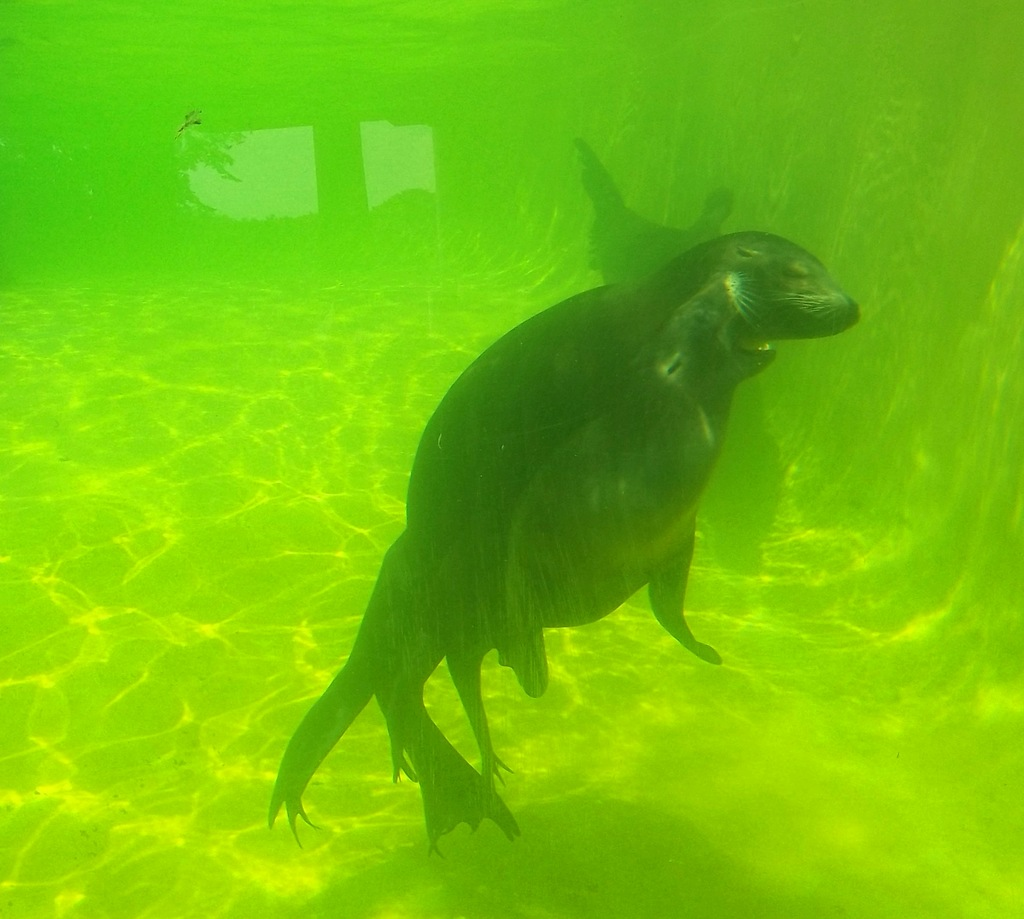 Sealions at Knowsley