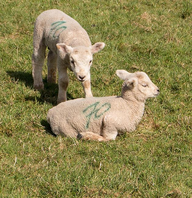 Spring Lambs 2013