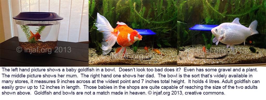"""""""The Goldfish Bowl"""""""