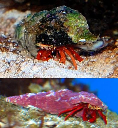 Hermit Crab = orange legs this week..!