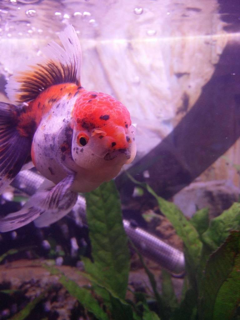 My beautiful Oranda, Pumpkin!!