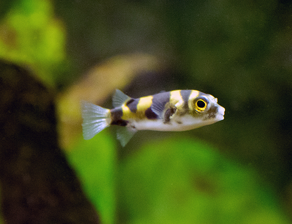 Amazon Puffer - (Colomesus asellus)