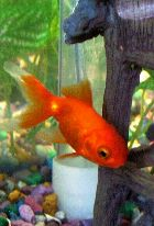 Gumsberg the red Oranda (pre Wen growth)