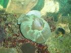 mushroom as it caught a green chromis