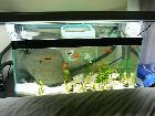 MY bedroom platy tank