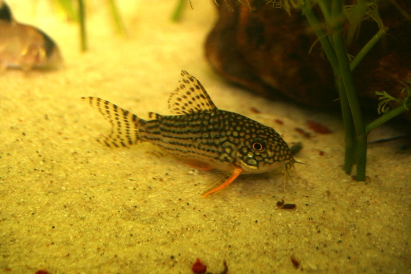One of my sterb corys