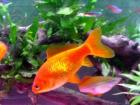 Linsay's acquired Regular Goldfish