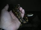 spotty royal python