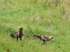 2 Wedge Tail Eagles