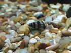 Baby Assassin Snails :-)