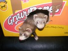 The Ferrets when we first got them.