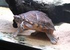 Razorback Musk Turtle.