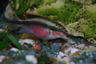 This One of a breeding pair of Kribensis
