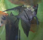 Angelfish (P.scalare)