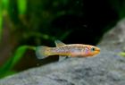 Steel Blue Killifish