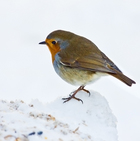Christmas is Coming & The Robin's Getting Fat...