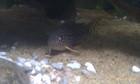 Sterbai Corydoras