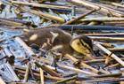 Dabbling Duckling